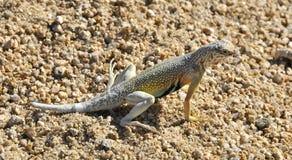 ящерица пустыни Стоковое Фото
