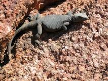 ящерица пустыни Стоковые Фотографии RF