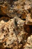 Ящерица пустыни Стоковое фото RF