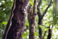 Ящерица дракона леса ` s Boyd, ущелье Mossman, Квинсленд, Australi Стоковое Изображение RF