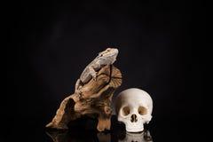 Ящерица дракона и череп человека Стоковая Фотография