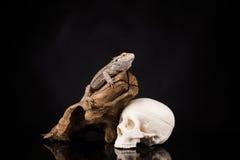 Ящерица дракона и череп человека Стоковое фото RF