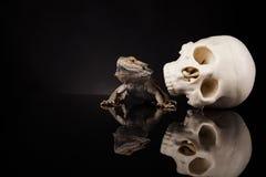 Ящерица дракона и череп человека Стоковые Изображения