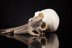 Ящерица дракона и череп человека Стоковое Фото