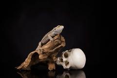 Ящерица дракона и череп человека Стоковое Изображение