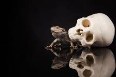 Ящерица дракона и череп человека Стоковое Изображение RF