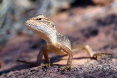 Ящерица дракона Стоковая Фотография