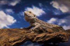Ящерица дракона Стоковое Фото