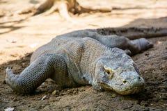 Ящерица дракона Komodo Стоковое Изображение