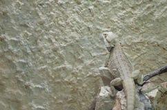 Ящерица дракона Pogona бородатая Стоковая Фотография