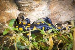 Ящерица саламандра в одичалом стоковые изображения