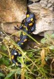 Ящерица саламандра в одичалом стоковое изображение