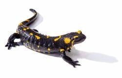 Ящерица саламандра на белой предпосылке стоковая фотография rf