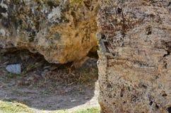 Ящерица сидит вертикально на камне, умелой маскировке как коричневый камень стоковое изображение