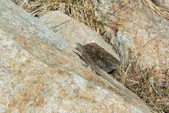 Ящерица сидя на камне Стоковое Изображение RF