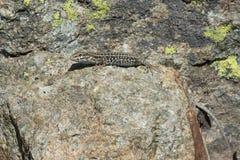 Ящерица сидя на камне Стоковое фото RF