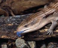 Ящерица сине-языка Earstern Стоковое Изображение RF