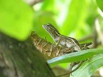 Ящерица сидя на ветви Стоковое фото RF