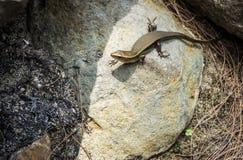 Ящерица сидя на утесах Стоковое фото RF