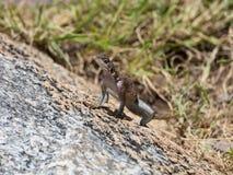 Ящерица сидя на утесе стоковое фото rf