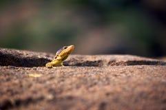 ящерица скалы плащи-накидк Стоковое Фото
