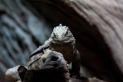 Ящерица смотрит на вас Стоковые Фото