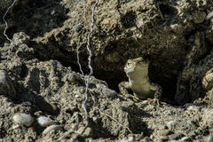 Ящерица смотрит прищурясь из его дома в утесе Стоковые Фото