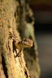 Ящерица смотря в любознательной в камере Стоковые Фотографии RF