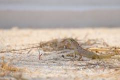 Ящерица смотря опасный Стоковое Изображение RF