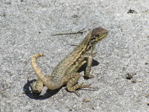 Ящерица смотря сердитый Стоковое Изображение RF