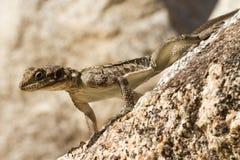 Ящерица стоя на утесе Стоковое Фото
