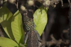 Ящерица с зелеными нашивками и позвоночниками на своей голове как раз съела пчелу стоковые фотографии rf