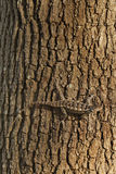 Ящерица Техаса колючая на дереве Стоковое Изображение RF