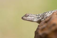Ящерица Техаса колючая Стоковые Фото
