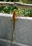 Ящерица типичная в Азии Таиланде Стоковые Изображения