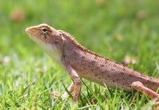 ящерица травы Стоковая Фотография