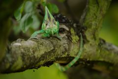 Ящерица хамелеона Йемена Стоковые Фотографии RF