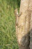 Ящерица царапая на хоботе Стоковые Изображения