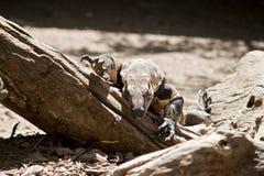 Ящерица шнурка Стоковая Фотография