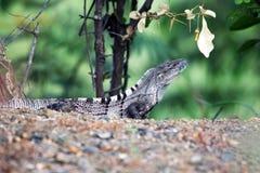 Ящерица, ящерица монитора, в тропических джунглях Стоковые Изображения