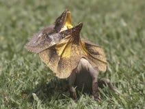 Ящерица Стоковые Фотографии RF
