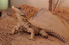 ящерица Стоковое Фото