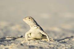 Ящерица Стоковая Фотография RF