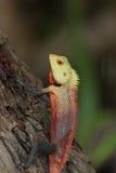 ящерица agamid Стоковые Изображения RF