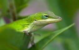 ящерица anole зеленая Стоковое Изображение