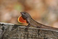 ящерица anole коричневая Стоковая Фотография