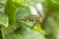ящерица anole коричневая Стоковые Фотографии RF