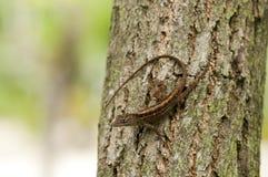 ящерица anole коричневая Стоковое Фото