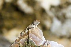 Ящерица Anole смотря вне Стоковое Изображение