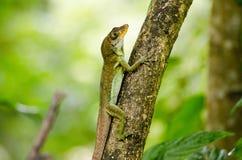Ящерица Anolis, Тобаго Стоковые Изображения